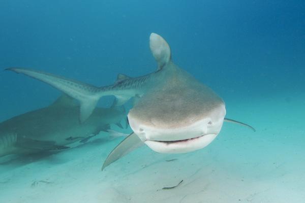 Galeocerdo cuvier (Тигровая акула)