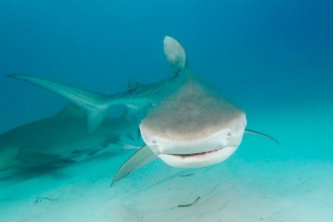 Tiger Shark 053